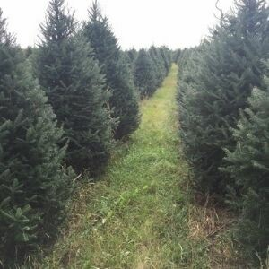 Uncle Paul's Christmas Trees